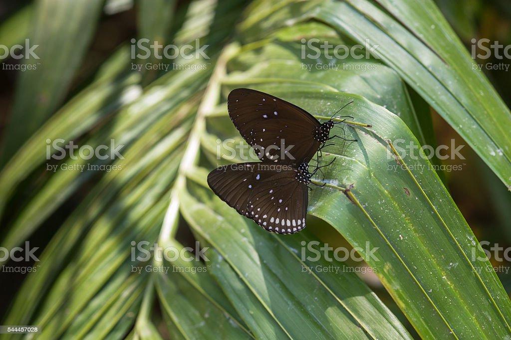 Butterfly - Blue Glassy Tiger stock photo
