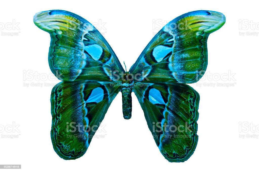 Butterfly blue green wings beautiful insect isolated on white background stock photo