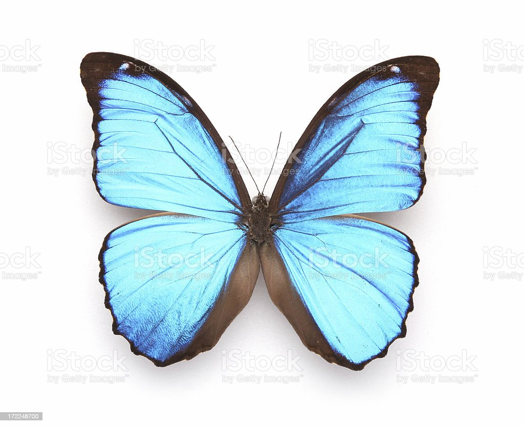 Butterfly - Blue morpho royalty-free stock photo
