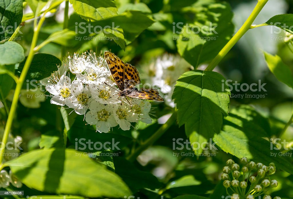 Butterfly Brenthis stock photo