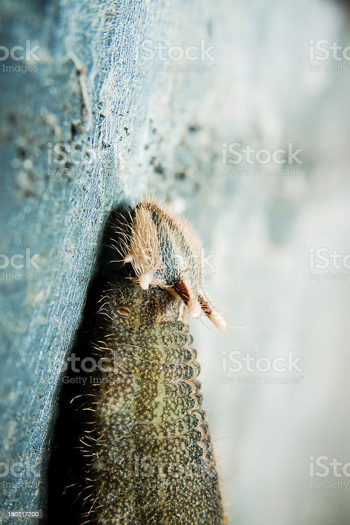 Butterfly Caterpillar stock photo