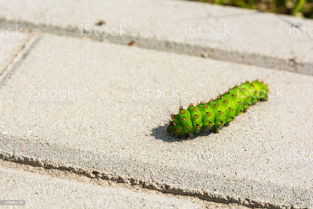 Butterfly caterpillar Small Emperor Moth (Saturnia pavonia) stock photo