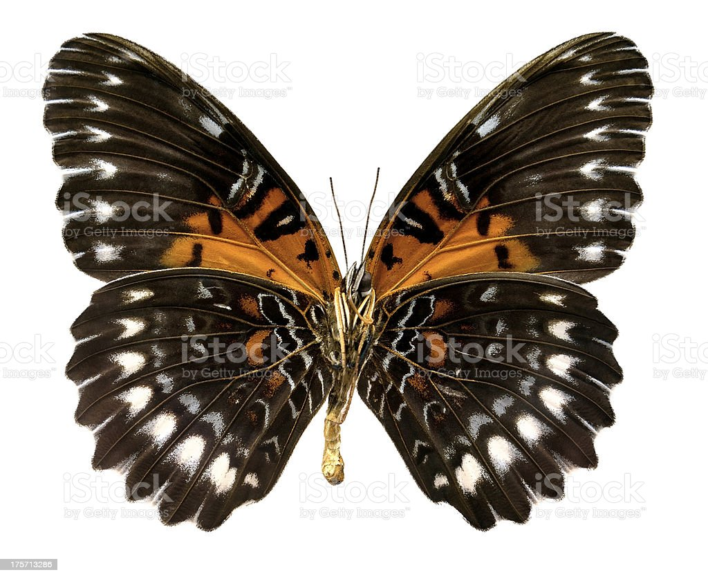 Butterfly Cethosia obscura antippe (Clipping path) royalty-free stock photo