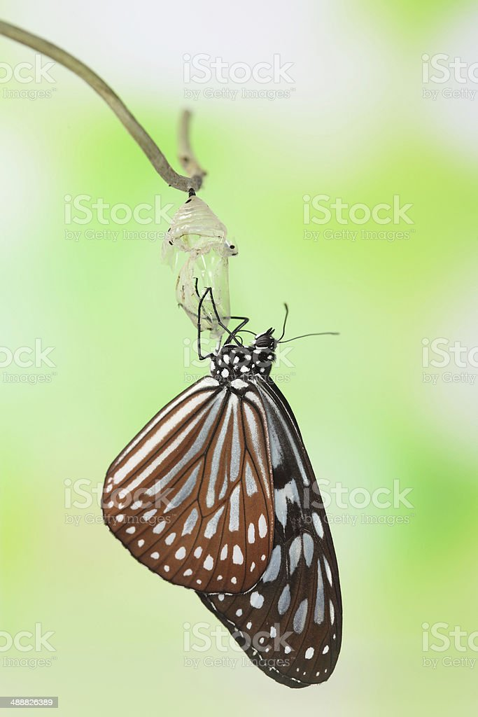 butterfly change form chrysalis stock photo