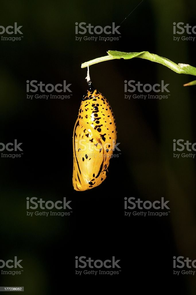 butterfly chrysalis stock photo
