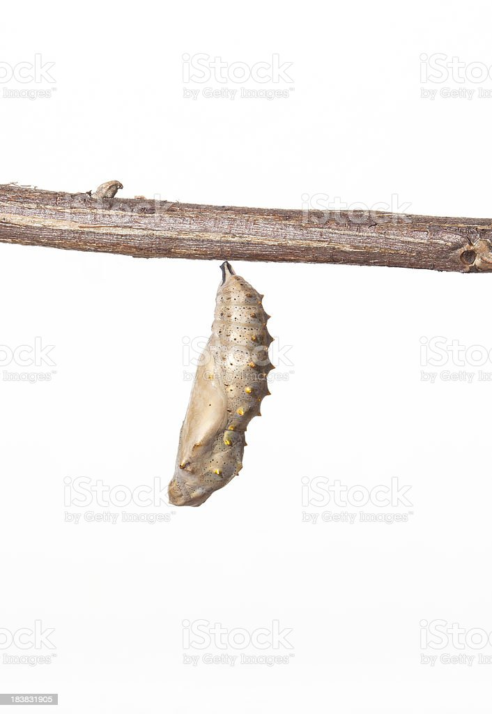 Butterfly Chrysalis stock photo