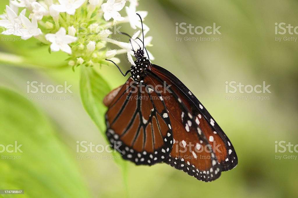 Butterfly close up feeding on white flowers royalty-free stock photo
