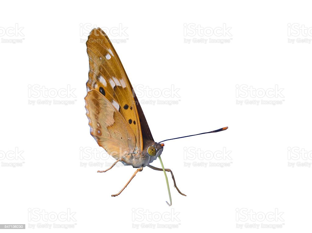 Butterfly Closed Wings Isolated stock photo