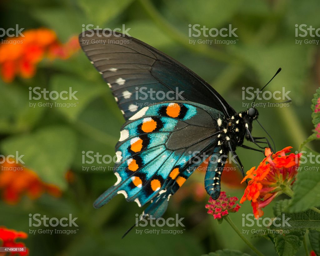 Butterfly Close-Up stock photo