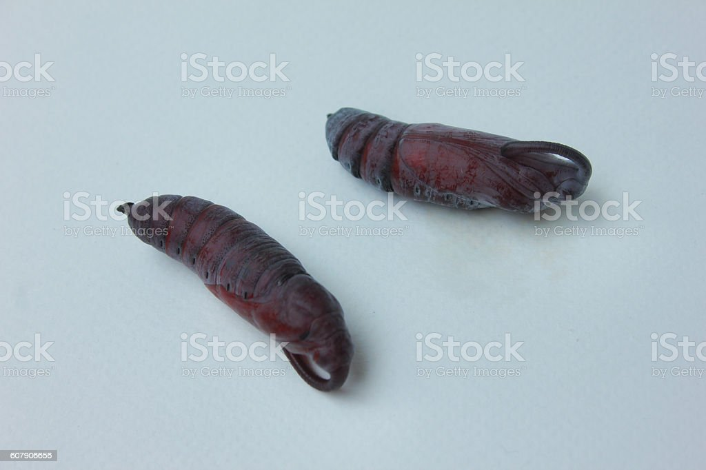 Butterfly cocoon , Butterfly cocoon isolated. stock photo