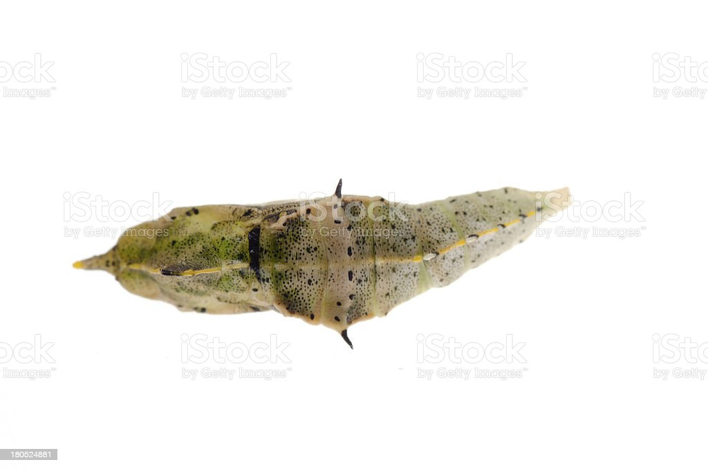 butterfly cocoon royalty-free stock photo