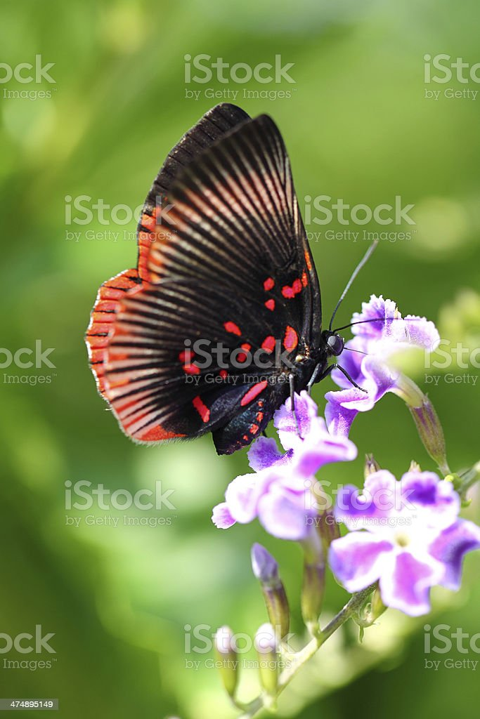 Butterfly collecting pollen stock photo