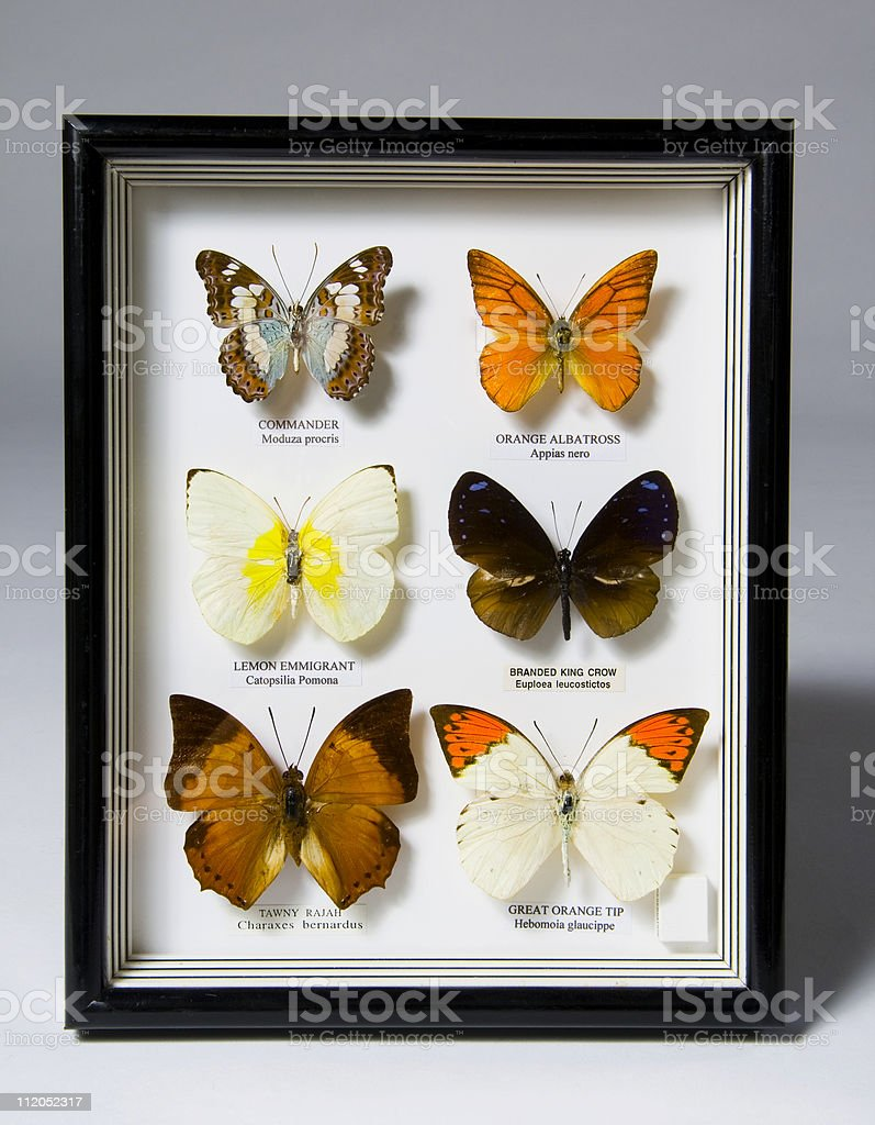 Butterfly Collection stock photo