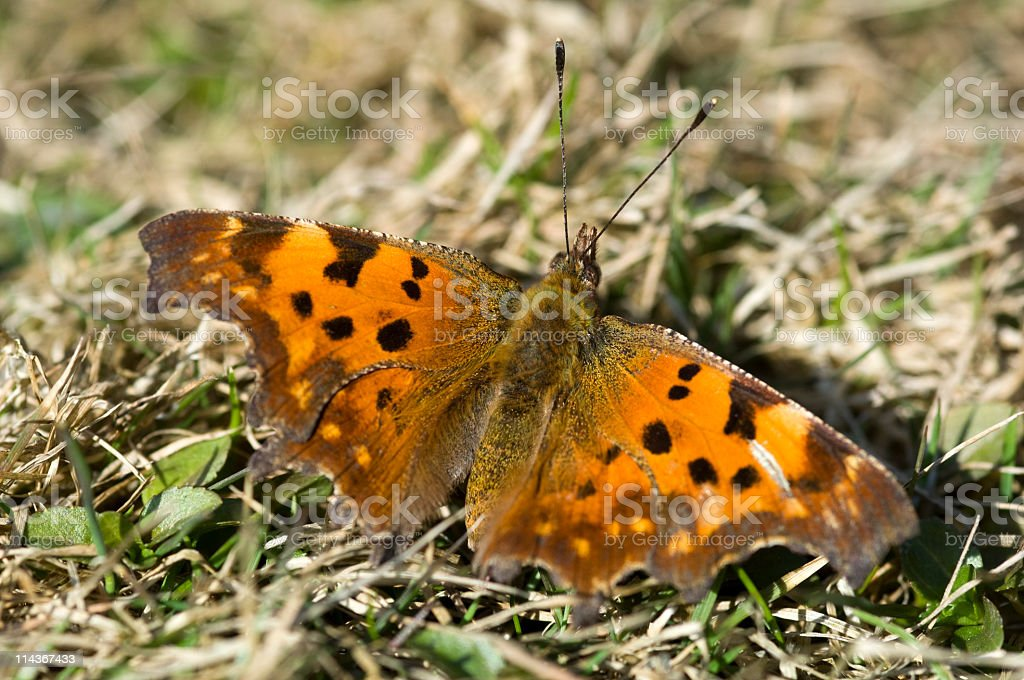 Butterfly -  Comma stock photo