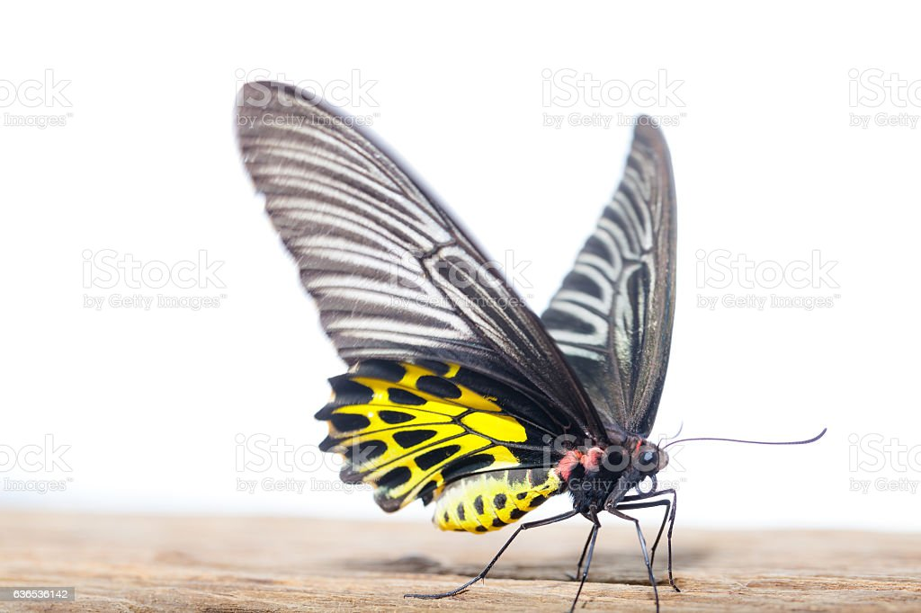 Butterfly common birdwing. stock photo