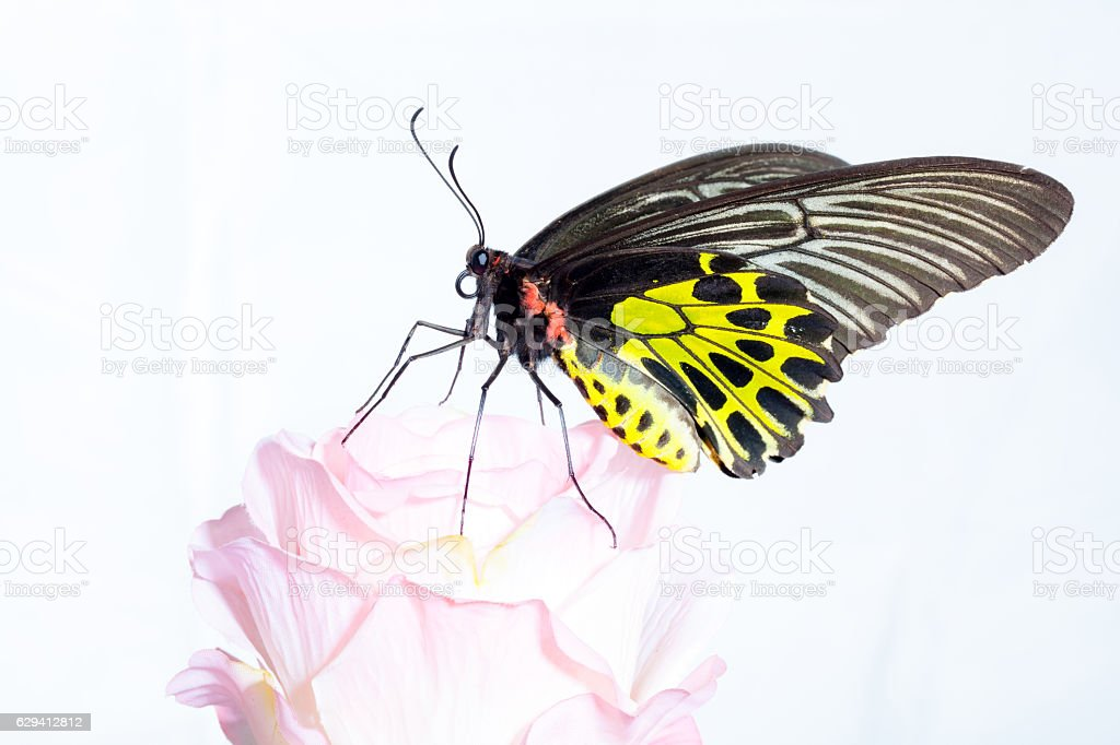 Butterfly common birdwing with pink rose. stock photo