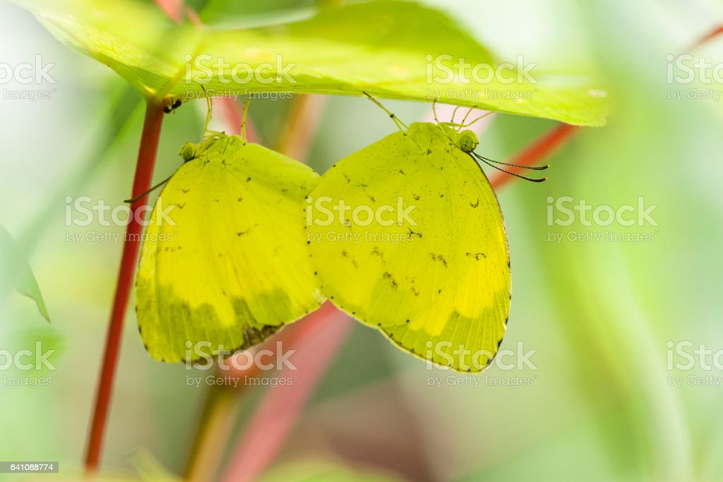 Butterfly, common grass yellow, on flower stock photo