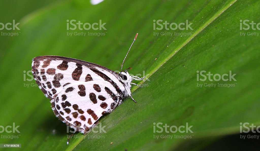 Butterfly Common Pierrot stock photo