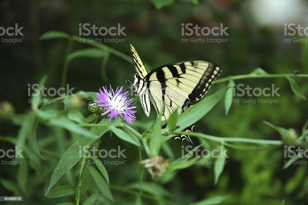 Butterfly Dancing on White Fire Flower stock photo