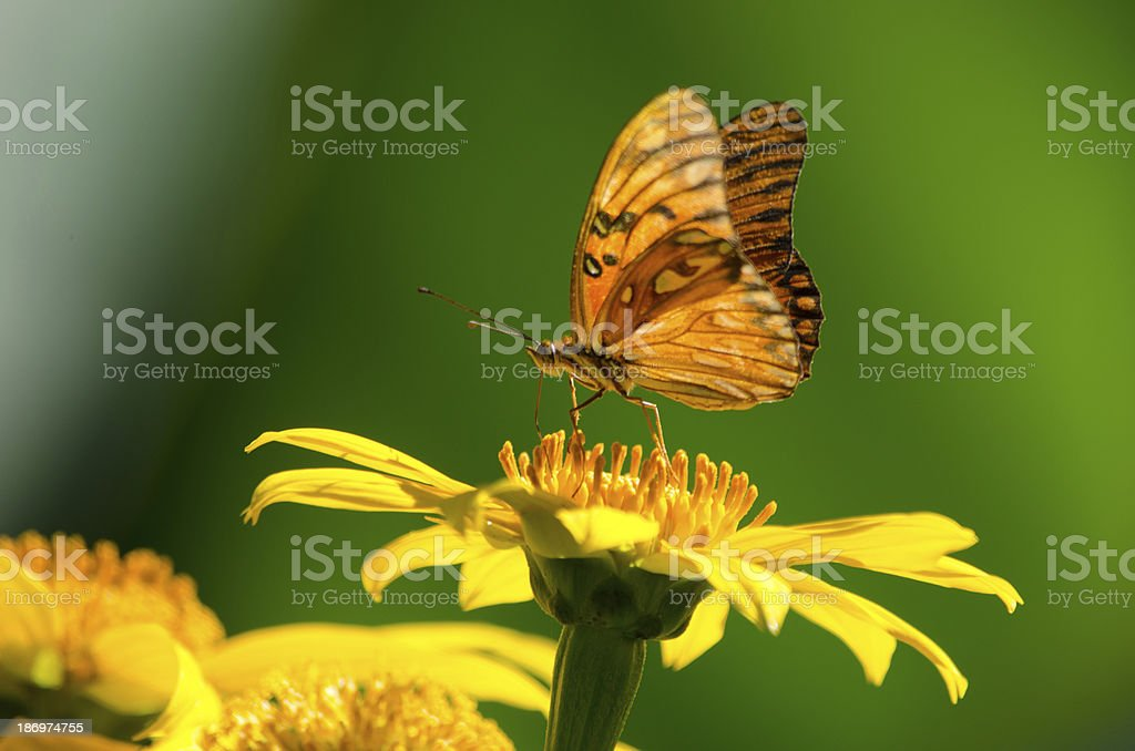 Butterfly drinking nectar of yellow flower on green background stock photo