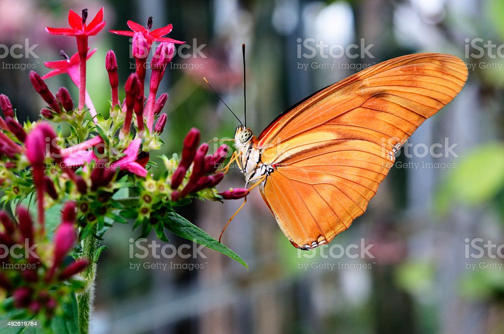 butterfly Dryas Julia on a flower stock photo