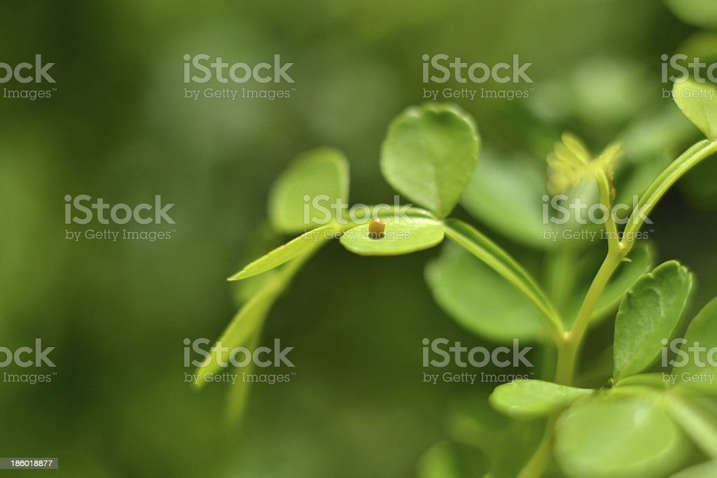 Butterfly Egg stock photo