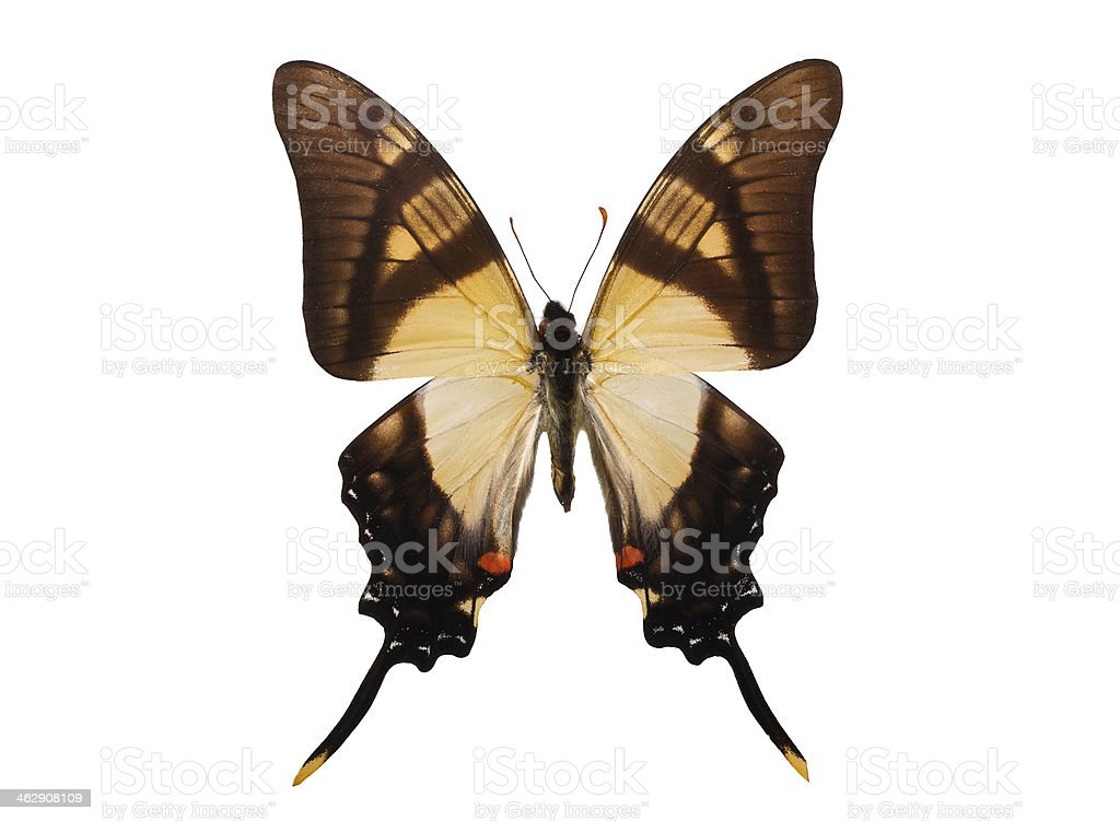 Butterfly Eurytides serville stock photo