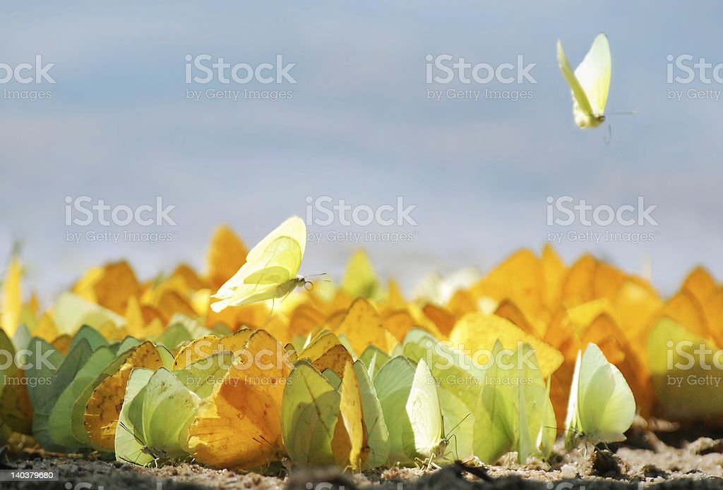 Butterfly Feast royalty-free stock photo
