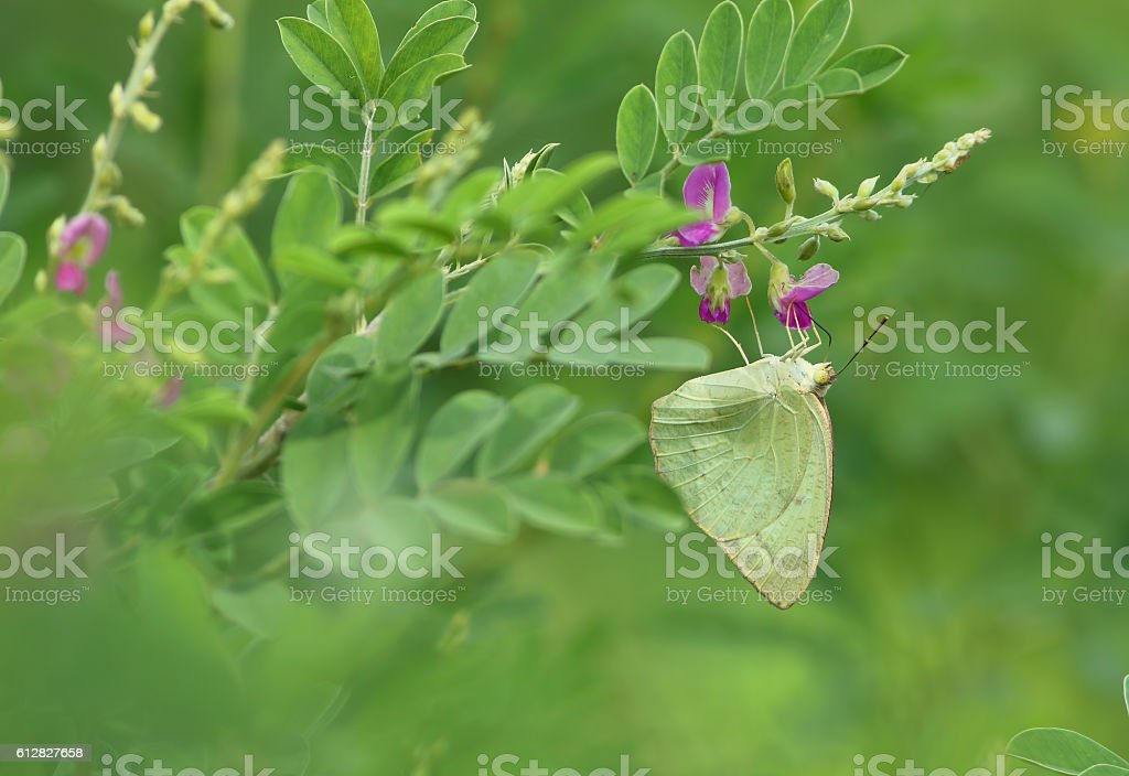Butterfly feeding in the morning stock photo