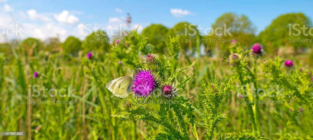 Butterfly feeding nectar on the flower of a thistle stock photo