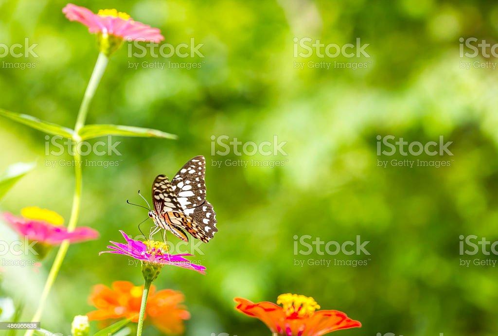 butterfly feeding on a pink Zinnia in sunny summer garden. stock photo