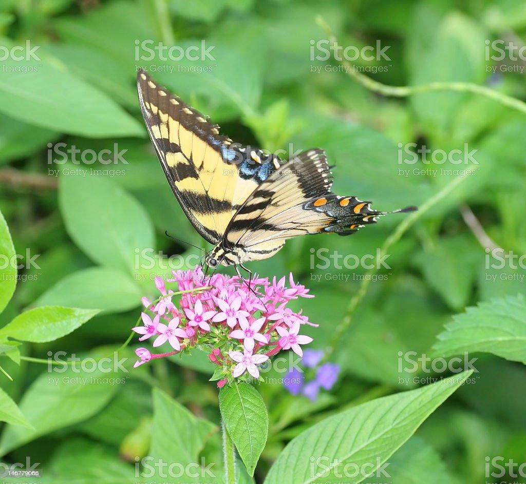 Butterfly feeding en flor foto de stock libre de derechos