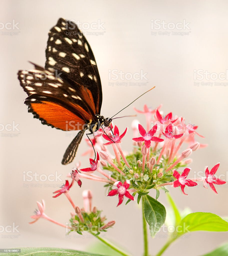 Butterfly feeding on flowers royalty-free stock photo