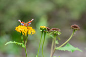 Butterfly feeding over flower. Macro closeup with red butterfly