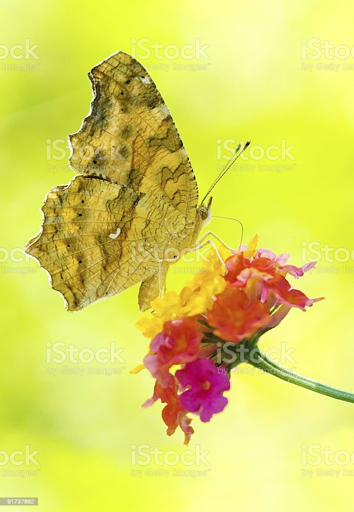 Butterfly feeding royalty-free stock photo