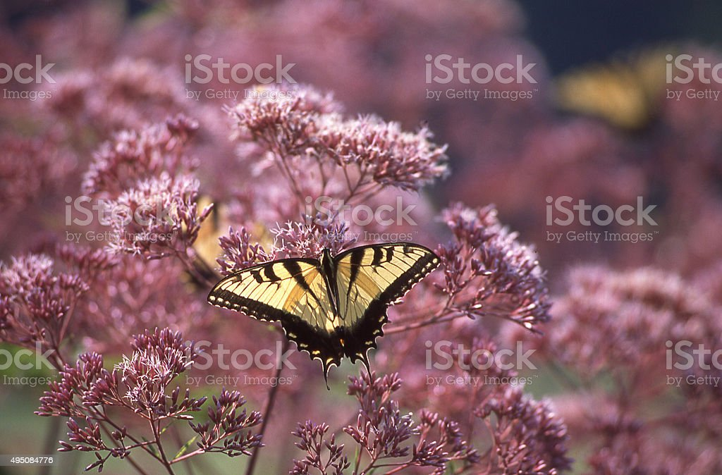Butterfly feeding wildflowers in old colonial gardens near Wilmington Delaware stock photo