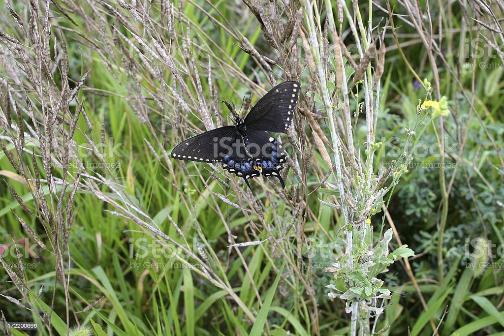 Butterfly - Female Black Swallowtail stock photo