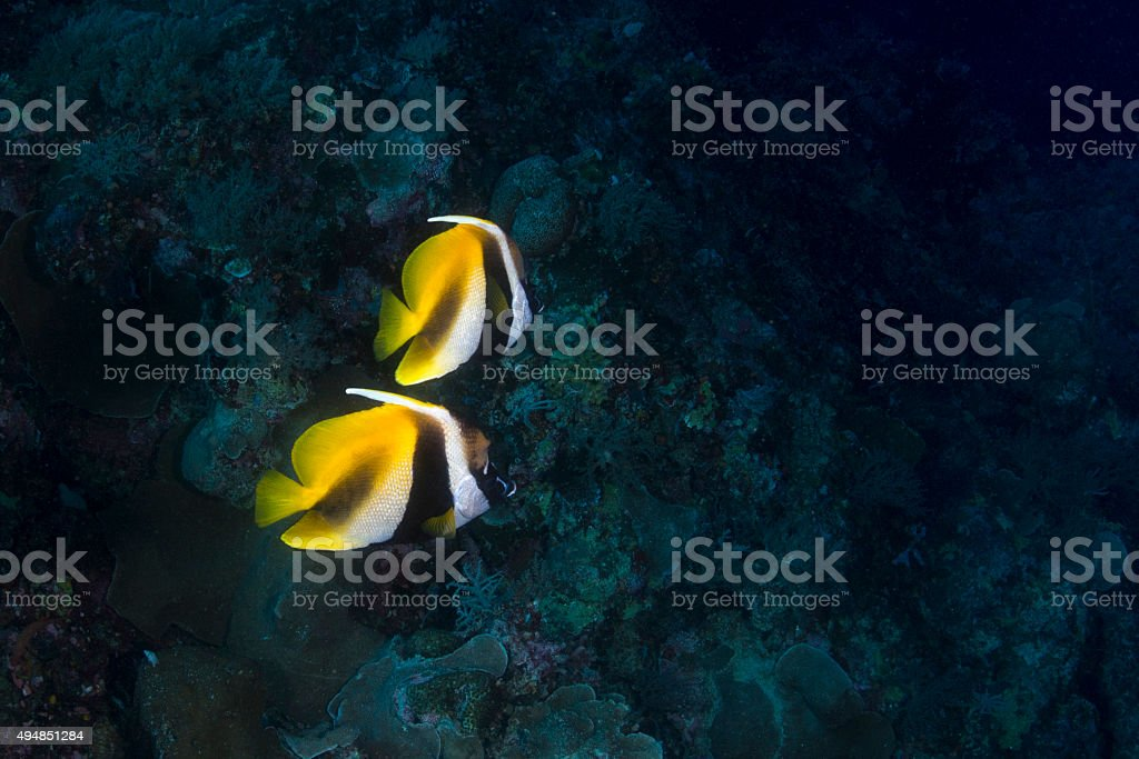 Butterfly fish in Palau, Micronesia stock photo