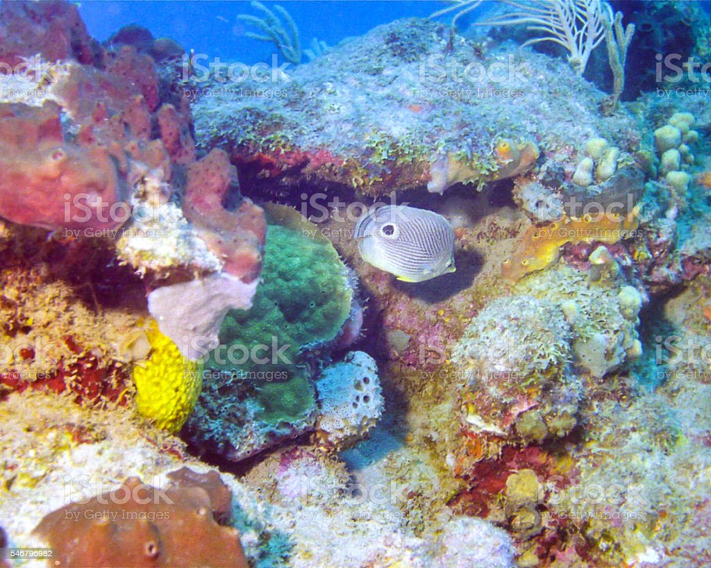 butterfly fish swims among hard corals stock photo