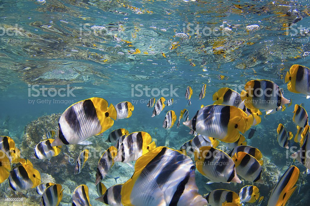 Butterfly Fishes stock photo