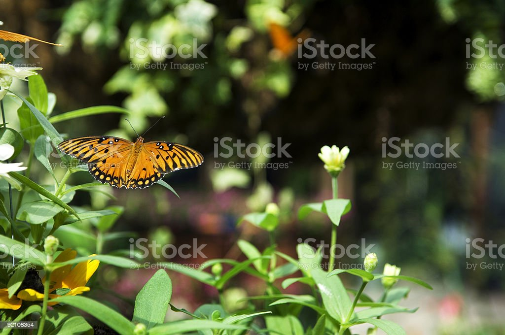 Butterfly Flying In Garden stock photo
