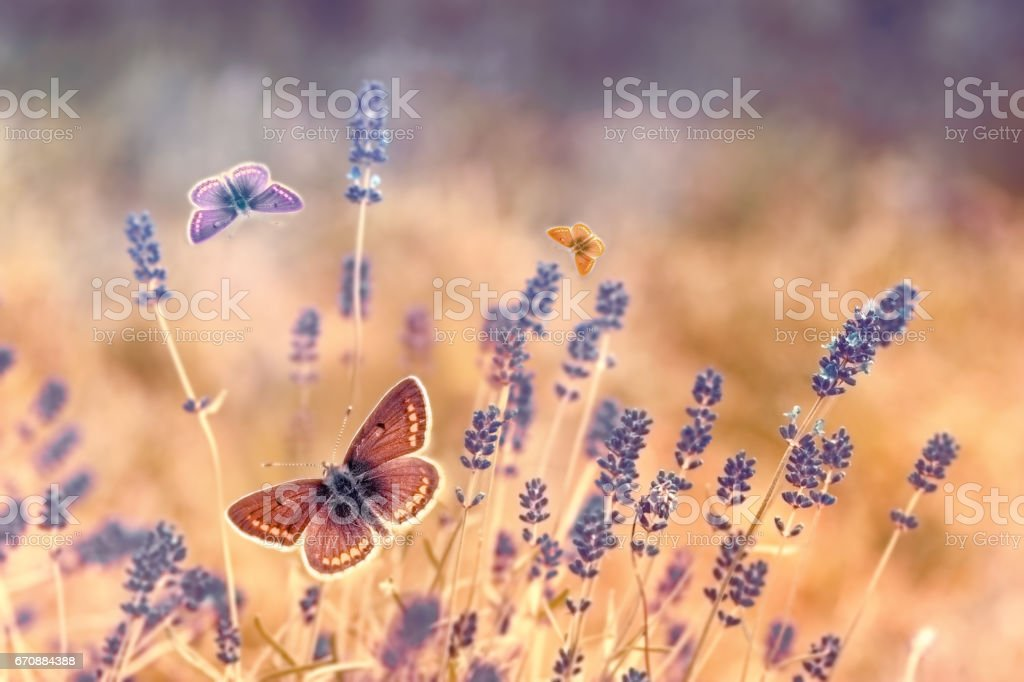 Butterfly flying over lavender, butterflies on lavender stock photo