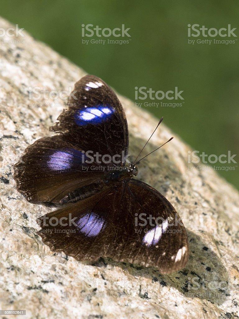 Butterfly (Ryuukyuu Murasaki) found in Ho Chi Minh, Vietnam stock photo