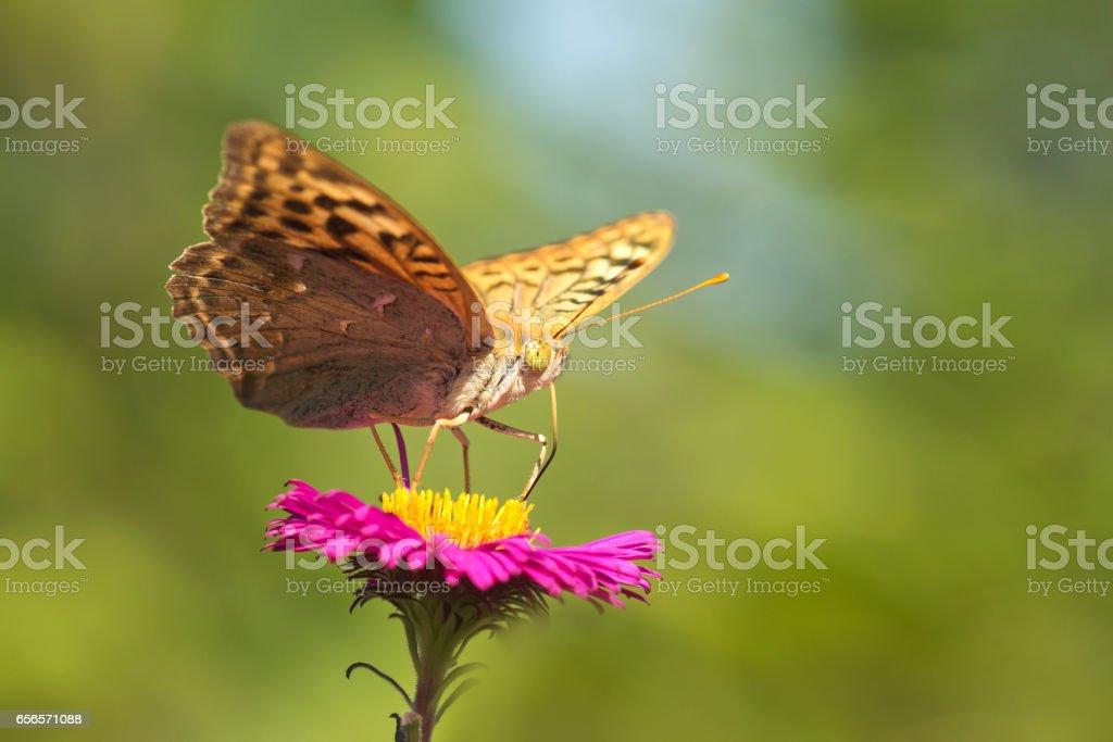 Butterfly fritillary great forest (lat. Argynnis paphia) is a day butterfly from the family nymphalidae (Nymphalidae) on a pink Aster flower stock photo