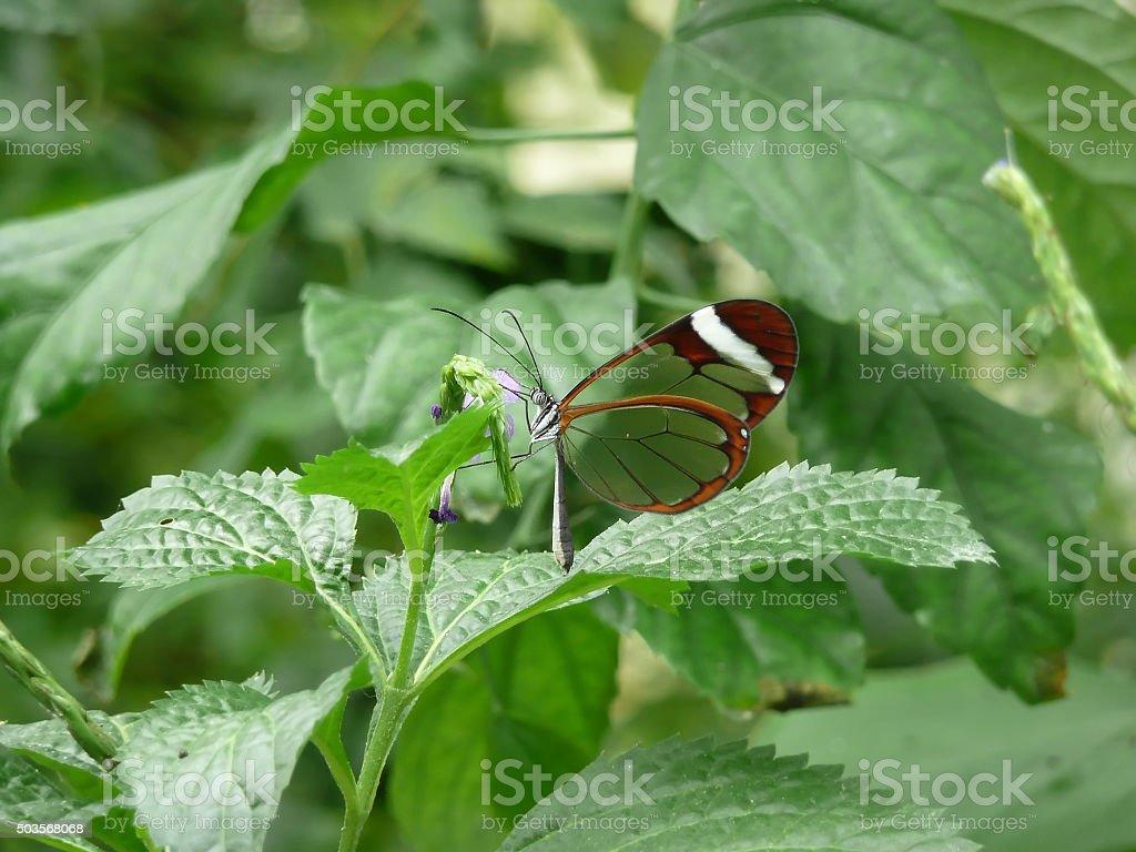 Butterfly glasswing (greta morgane oto) stock photo