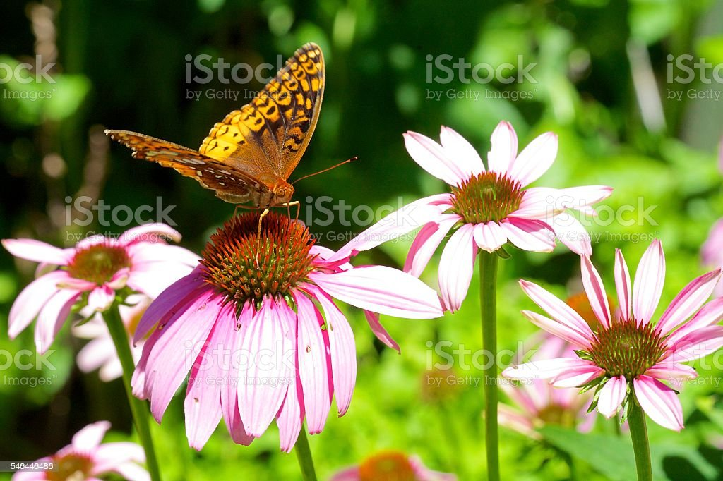 Butterfly, Great Spangled Fritillary stock photo