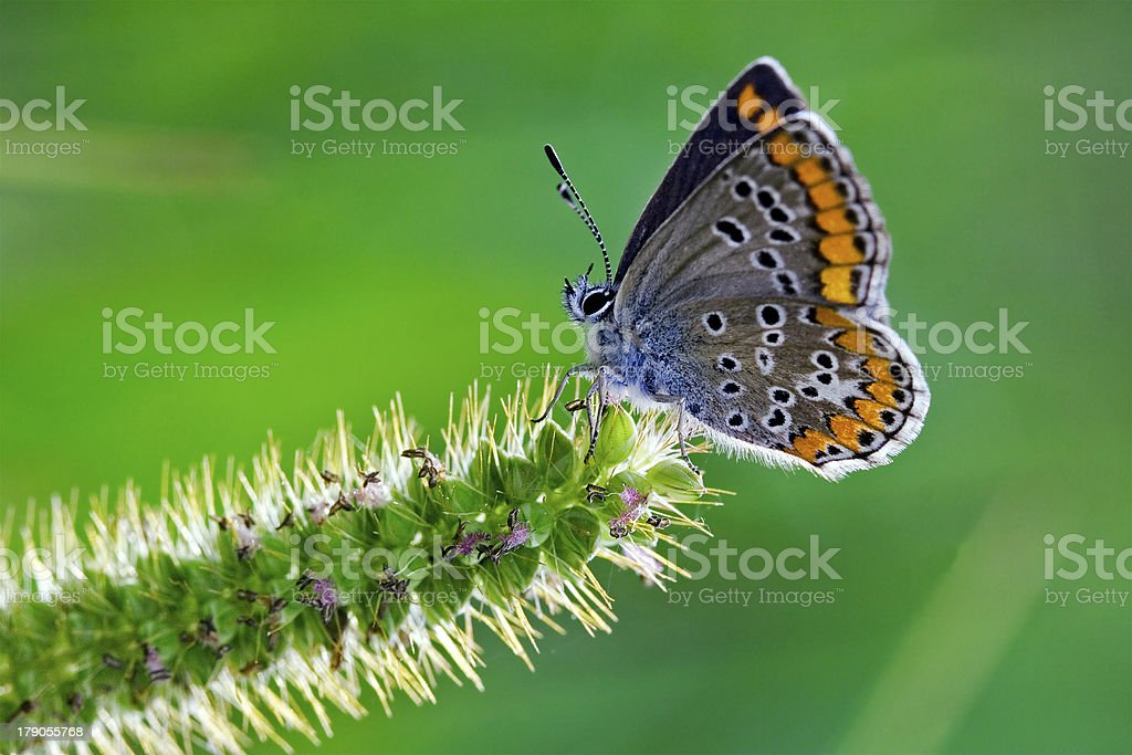 butterfly grey orange royalty-free stock photo