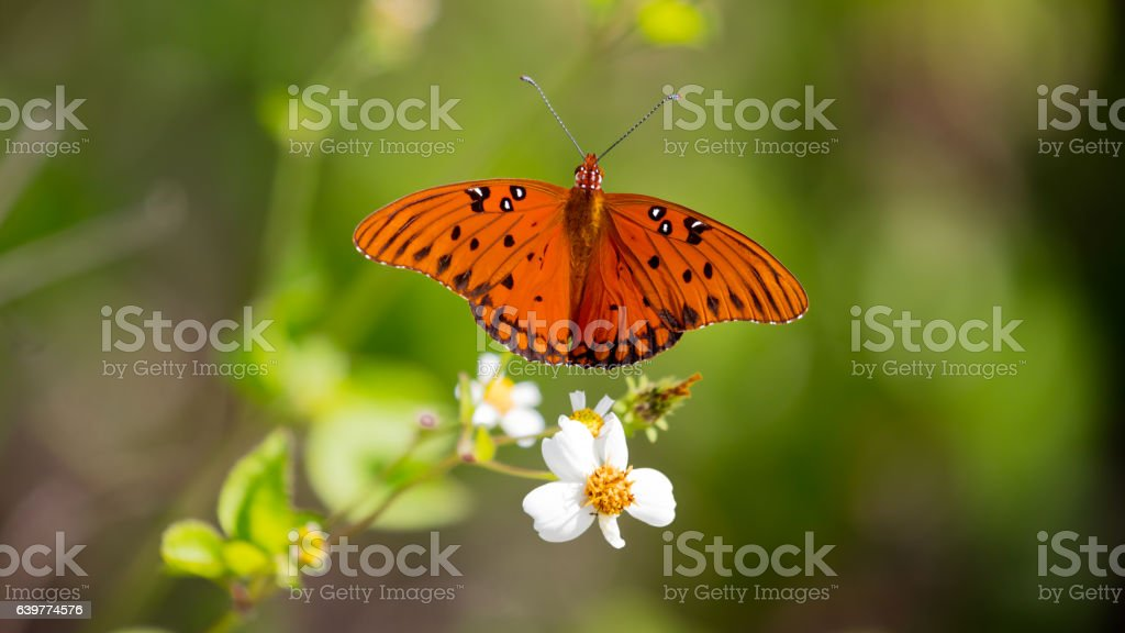 Butterfly Gulf fritillary (Agraulis vanillae) perching on white blossom, Florida stock photo
