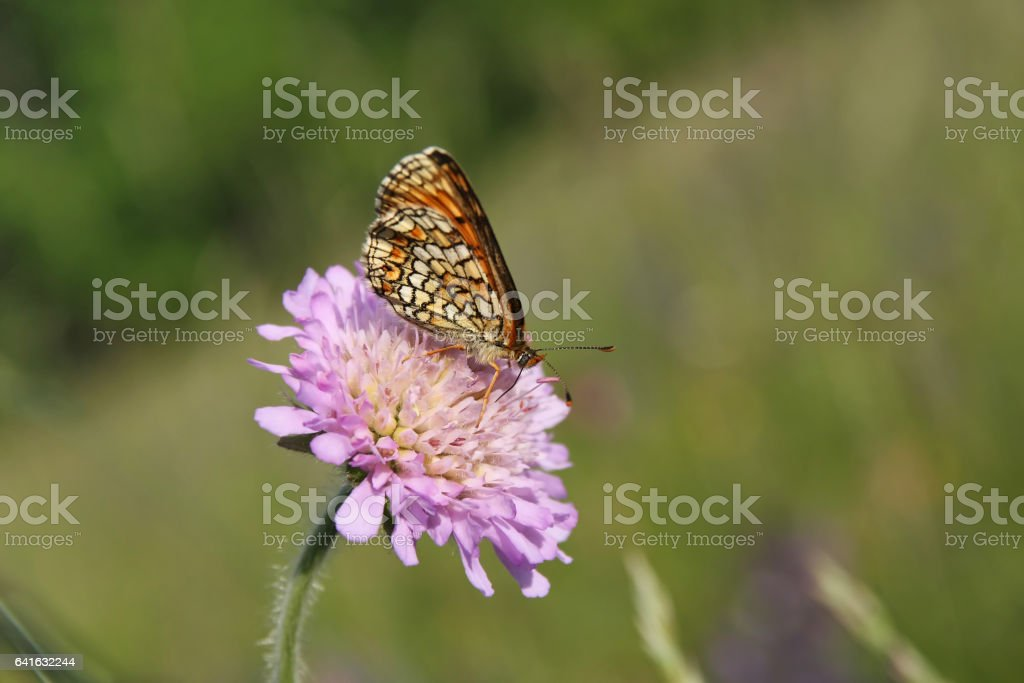 Butterfly Heath Fritillary (Mellicta athalia) stock photo