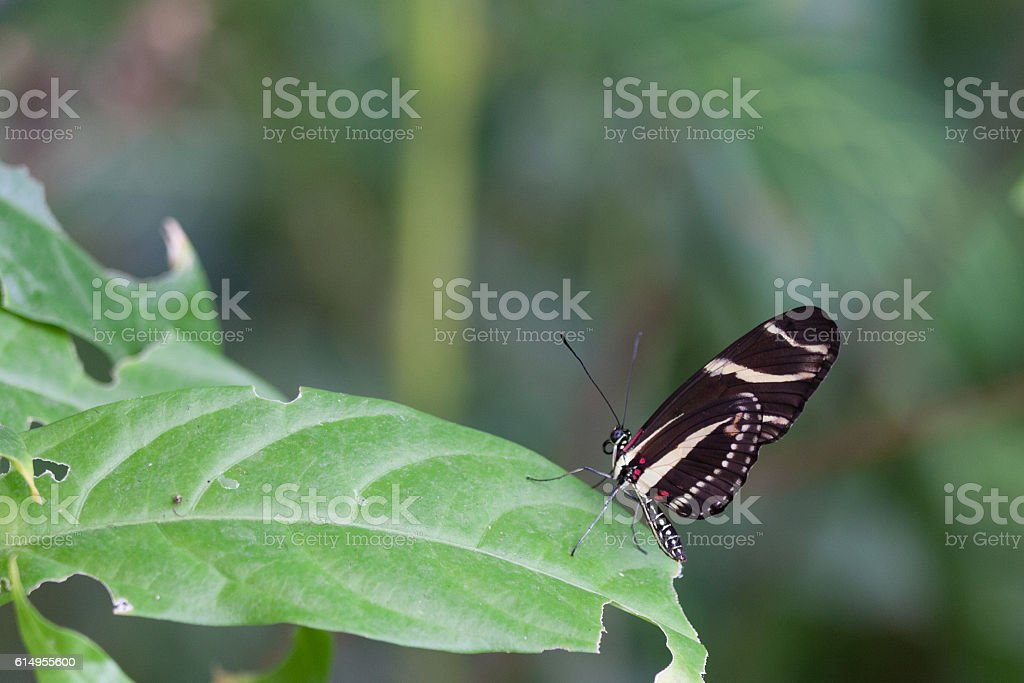 Butterfly Heliconius stock photo